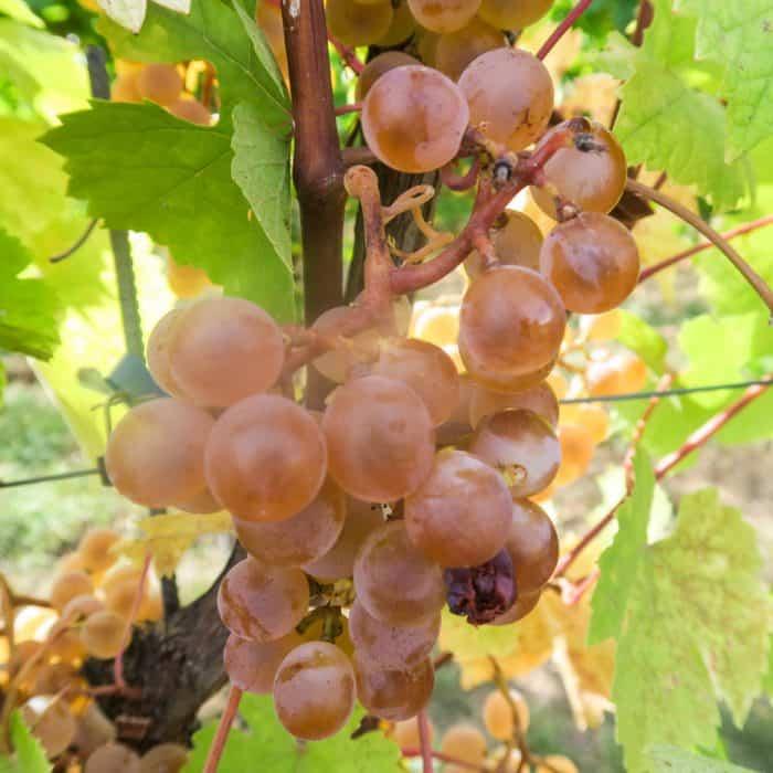 Geisenheim WSET Weinakademiker