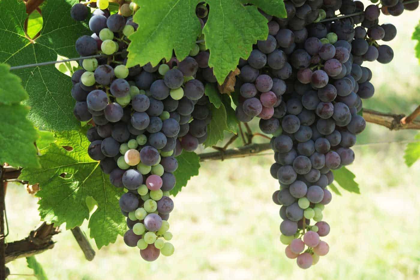 #wijnvraagbaak – Hoeveel kilo druiven heb je nodig voor één fles wijn?