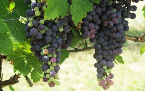 Hoeveel kilo druiven heb je nodig voor één fles wijn?