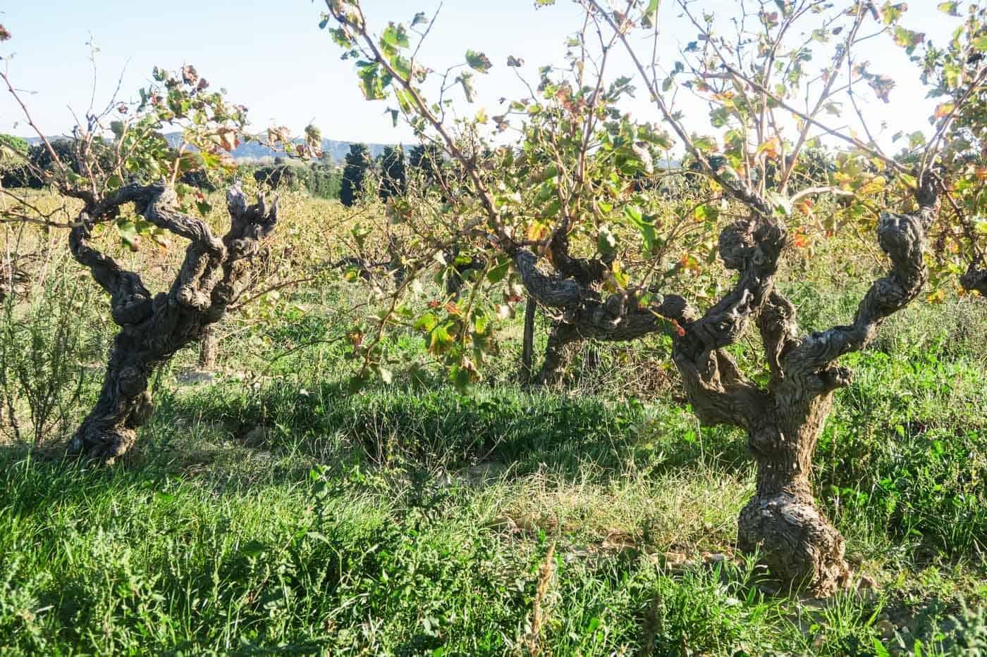 Vieilles vignes: hoe ouder hoe beter?